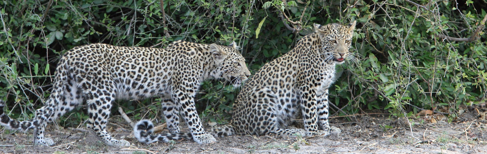 two leopards chobe